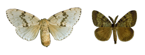 Lymantria dispar
